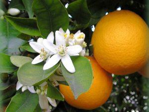 Paisajes primaverales en la ciudad: El azahar