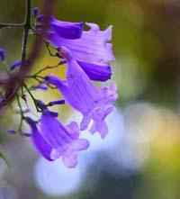 Flor jacaranda