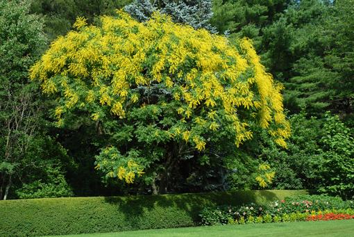 Árbol de los farolillos(Koelreuteria paniculata)