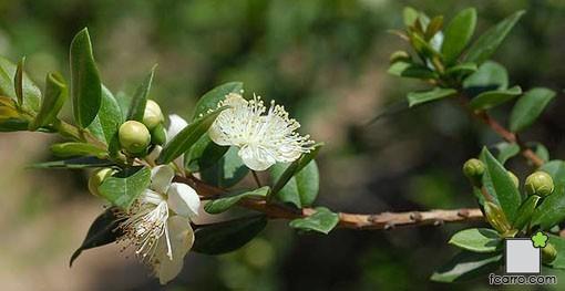 Rama y flor de mirto o arrayan