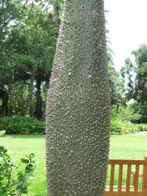 Tronco Chorisia o Ceiba