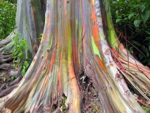 Tronco arcoiris: el Eucalyptus deglupta