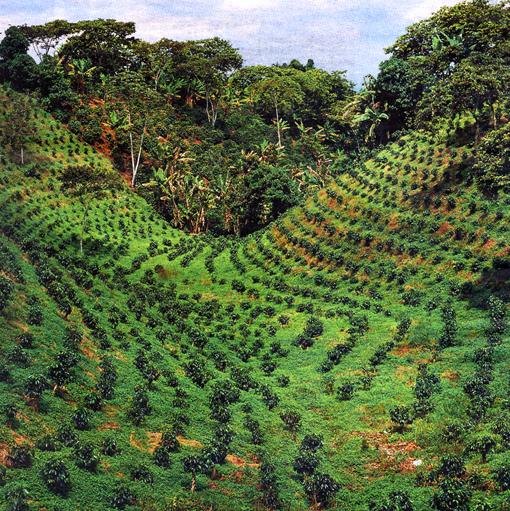 Cafetal colombia verdeden - Master en paisajismo ...