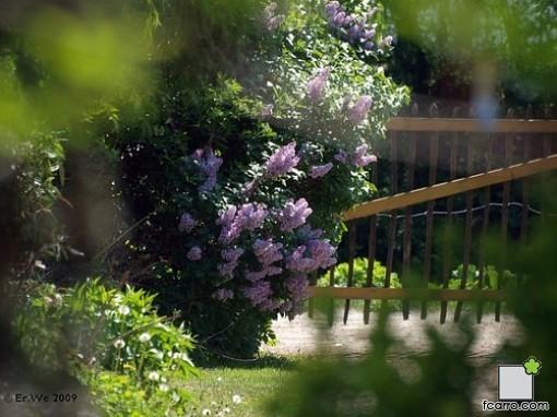 El lilo syringa vulgaris verdeden for Jardin lilo