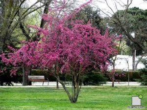 El manzano ornamental