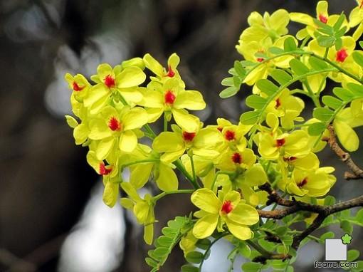 Flor de Caesalpinia echinata
