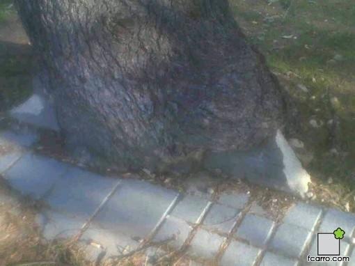 quien fue primero, la acera o el árbol - Córdoba