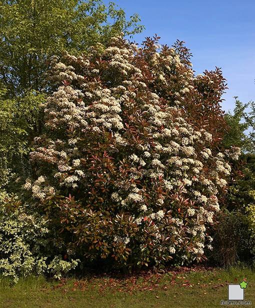 Arbusto photinia