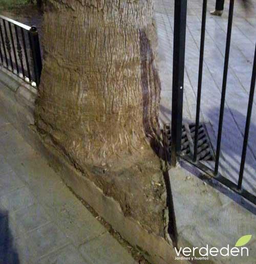 WASHINTONIA raíces recortadas