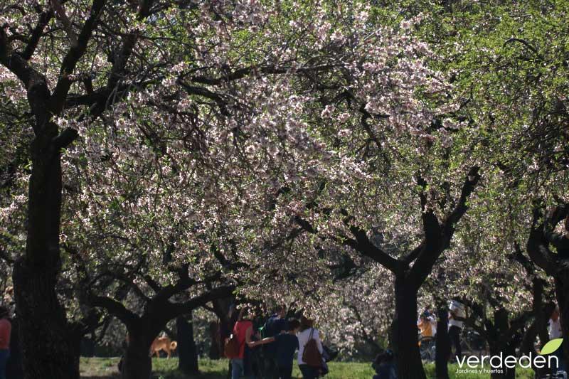 Quinta los molinos_flores de almendro entre sombras