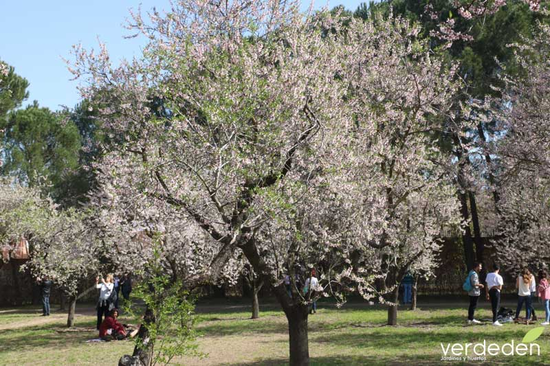 almendros en flor de la Quinta de los Molinos