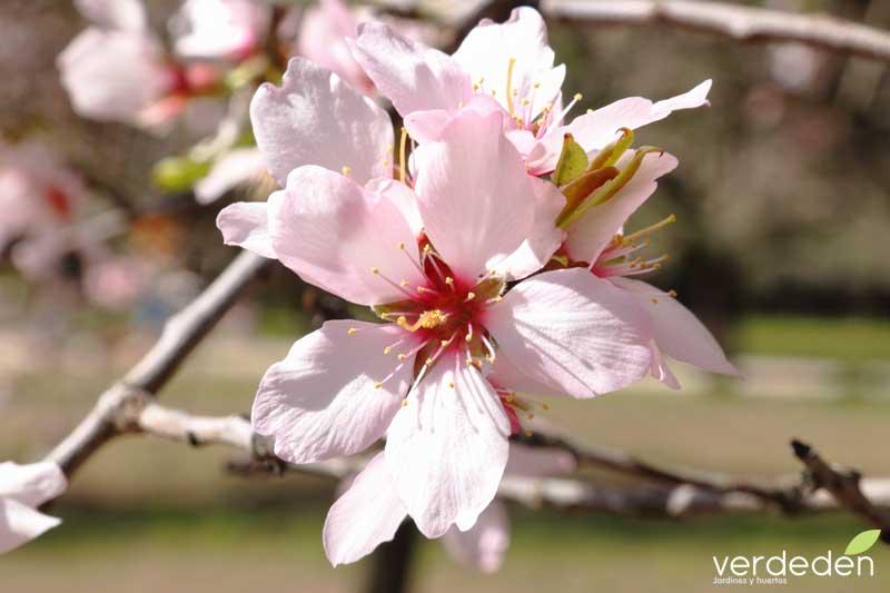 Quinta los molinos_flor de almendro