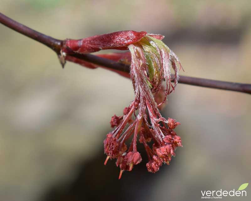 Acer palmatum_frores