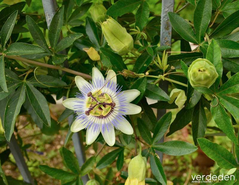 flor de la Pasion_flor