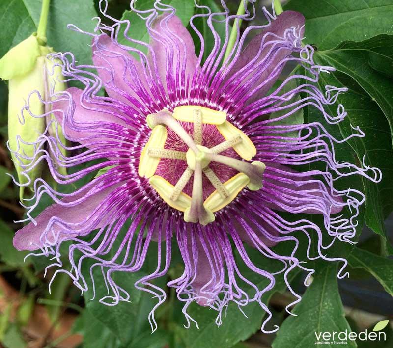 Flor Passiflora