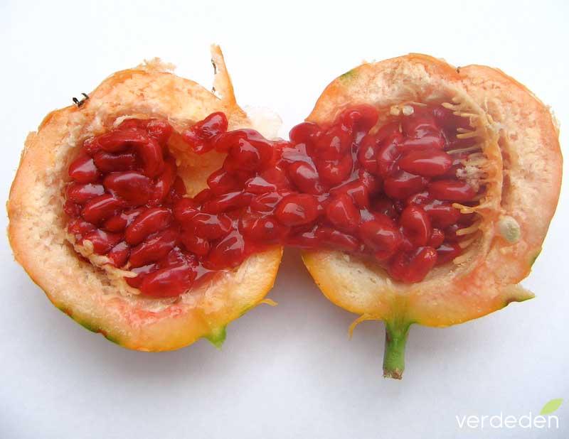 Fruto P. caerulea