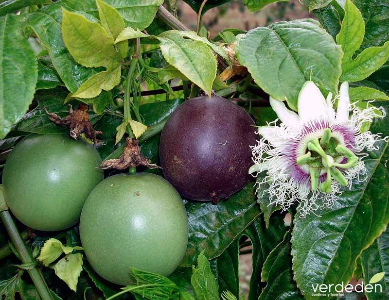 Passiflora edulis_hojas y fruto