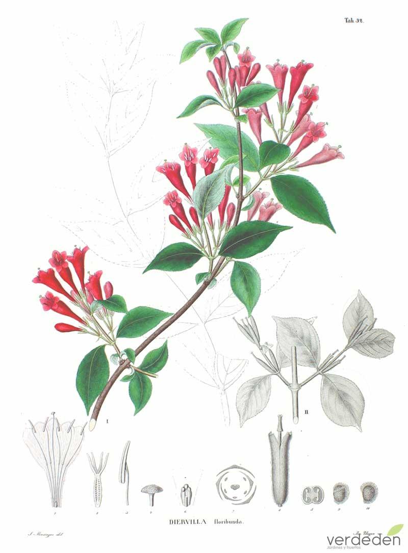 Weigela floribunda