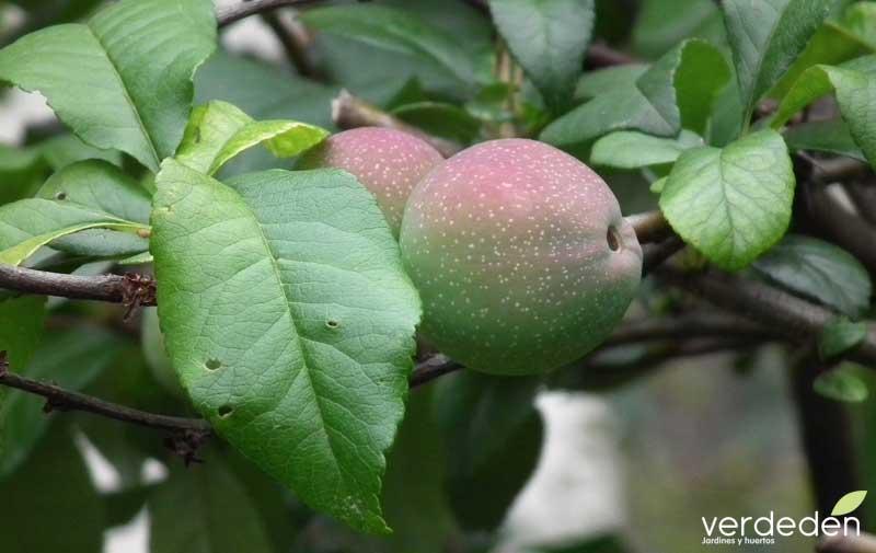 Fruto Chaenomeles japonica