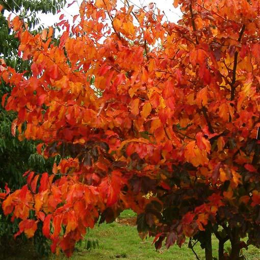 El árbol del hierro (Parrotia persica)