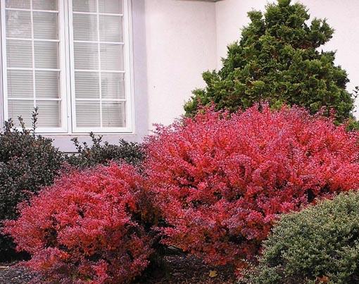 Composición con Berberis y arbustos