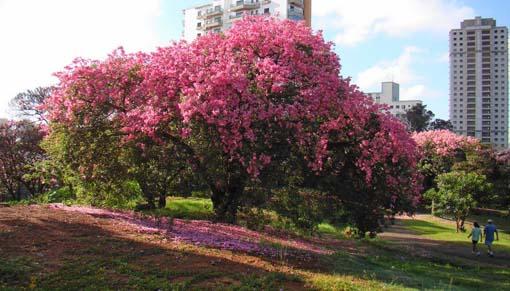 Árbol Ceiba, o Palo Borracho