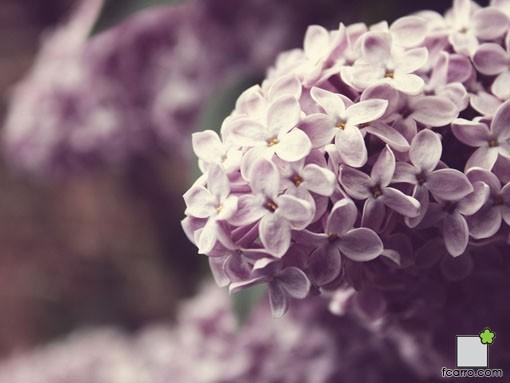 El Lilo ( Syringa vulgaris )