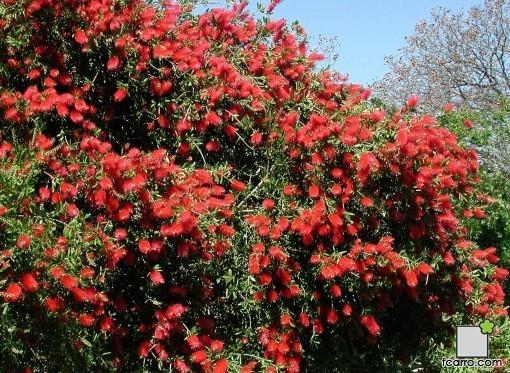 Arbusto de Callistemon citrinus