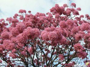 Un árbol que vino con la Expo 92: Tabebuia spp.